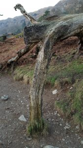 Coins hammered into tree near Grasmere, Cumbria