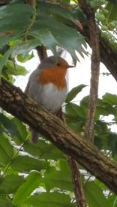 Robin near Dungeon Ghyll, Langdale
